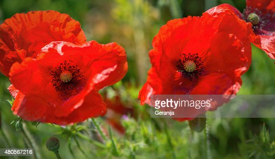 Poppies on meadow : Stock Photo