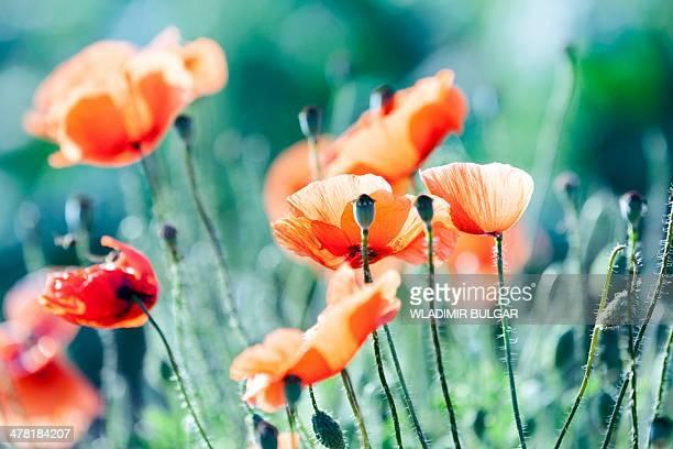 Poppies Papaver sp