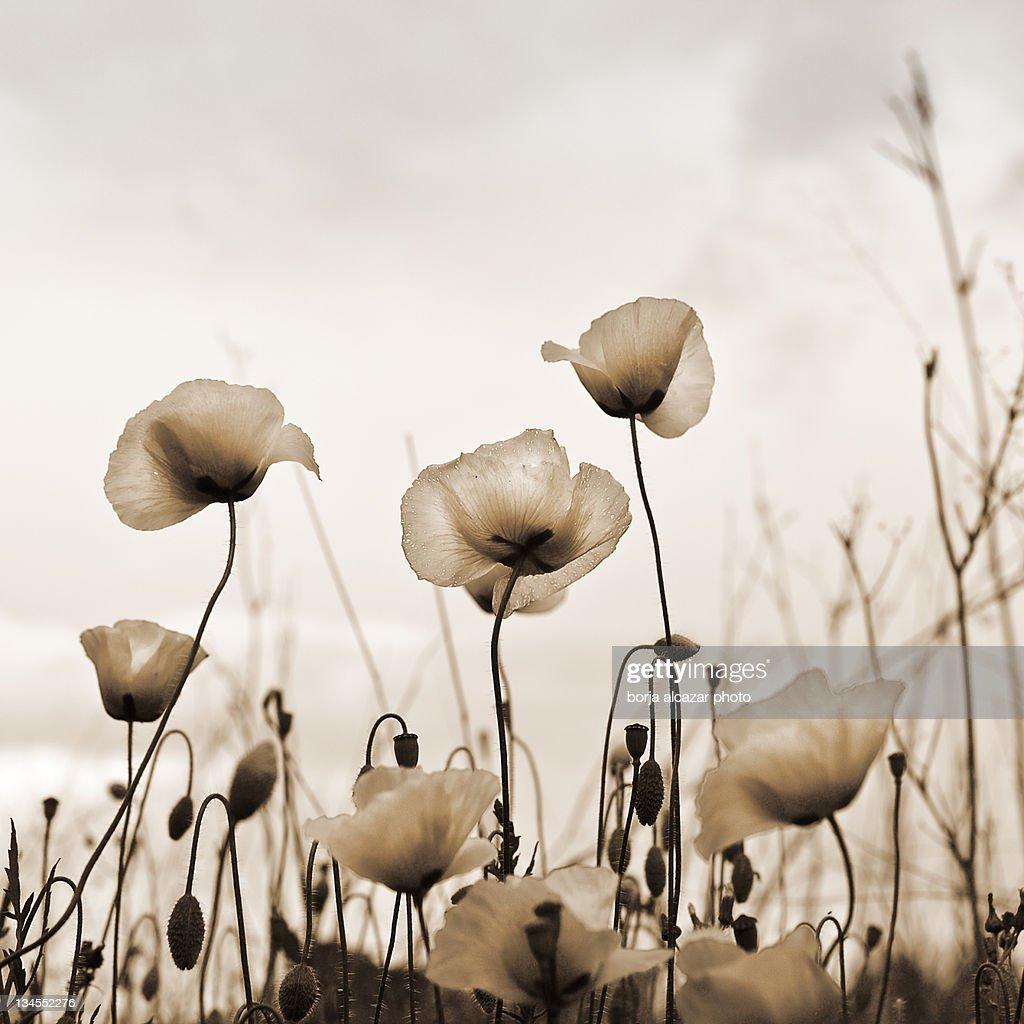 Poppies : Stock Photo