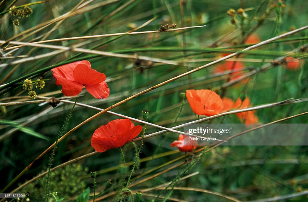 Poppies : Foto de stock