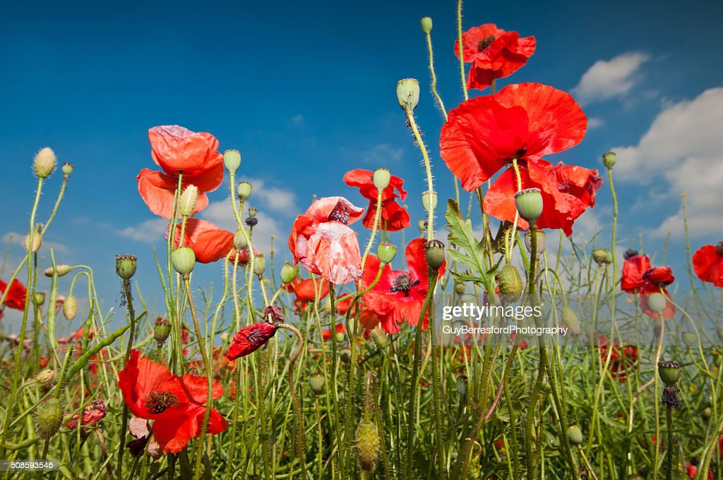 Poppies : Stock Photo