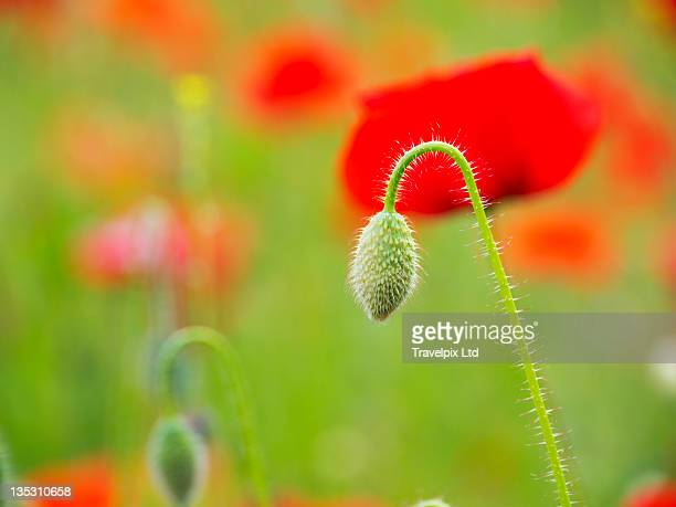 Poppies, Somme valley, Nord-Picardy, France