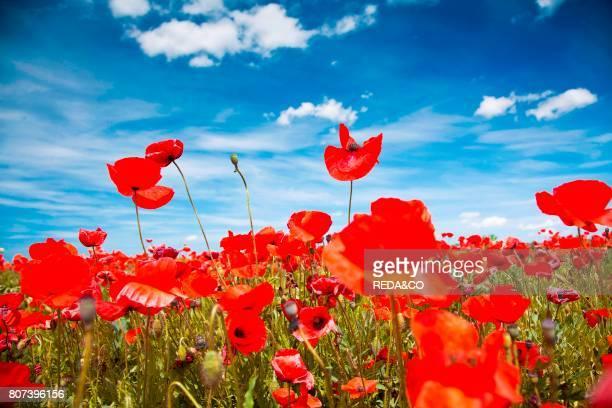 poppies spring Sardinia Italy Europe