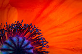 background made of red poppy flower close up