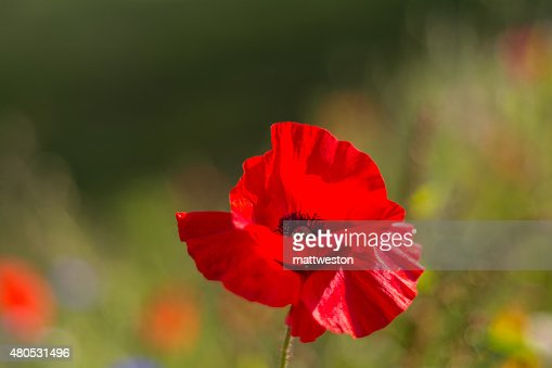 Poppy dancing in the wind : Stock Photo