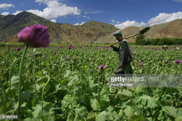 Poppy farmer Abdul Rassod walks through his field to irrigate it May 29 2005 in Panshar in the Badakhshan district in the northeast of Afghanistan...