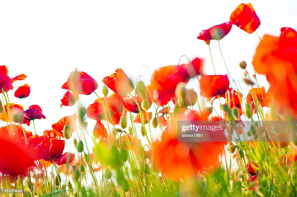 poppy field closeup : Stock Photo