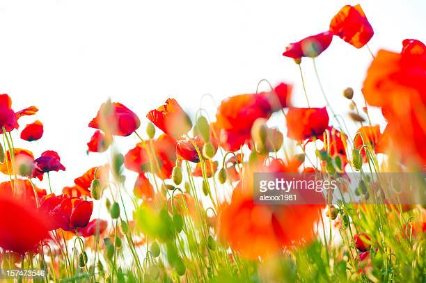 poppy field closeup