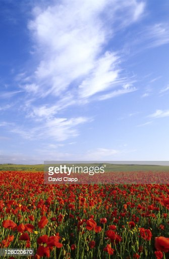 Poppy field in Newquay, Cornwall, UK : Stock Photo