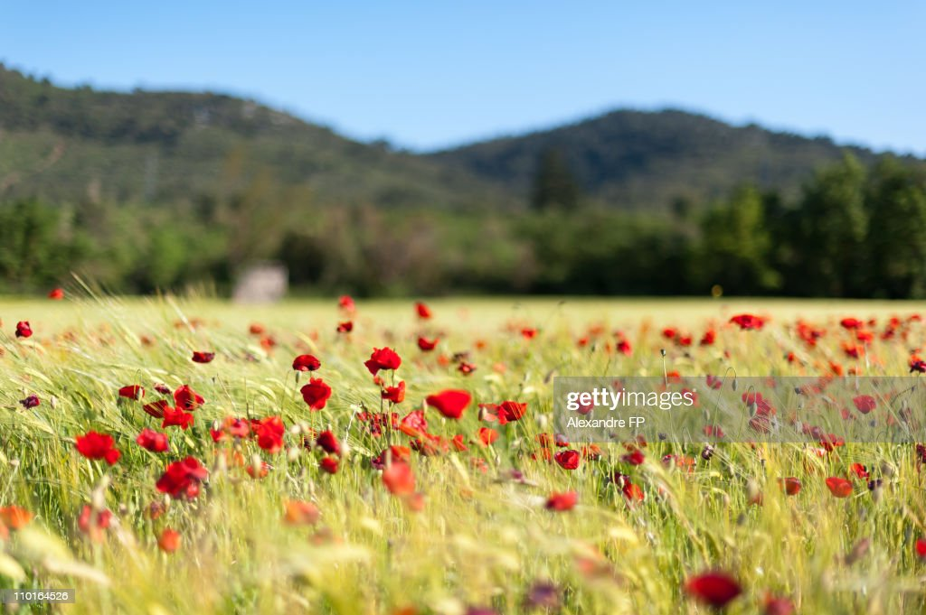 Poppy field in the wind, Signes : Stock Photo