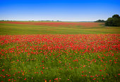 A Poppy Field in Ukraine