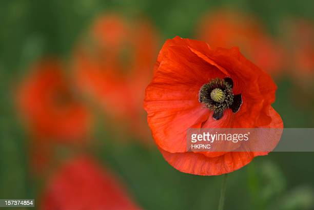Poppy, Field Of Red & Green, Detailed Close-up