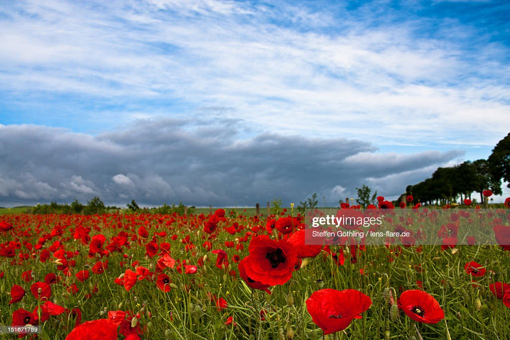 Poppy field : Stock Photo