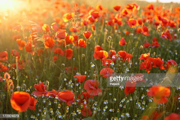 Poppy Field (against sunlight with flares)