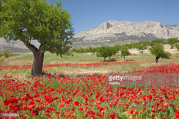 Poppy field with almond trees