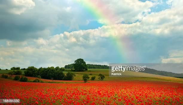 poppy field with rainbow