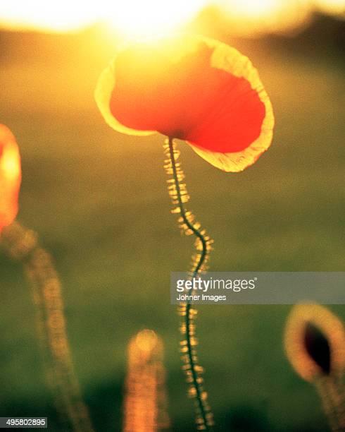 Poppy flower, Gotland, Sweden