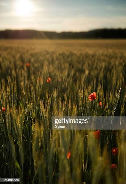 Poppy flower (Papaver) in a cornfield