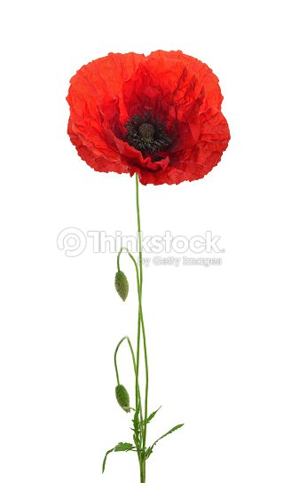 Poppy Flower On White Background Stock Photo Thinkstock