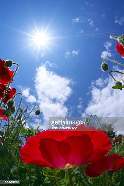 Poppy flowers and blue sky