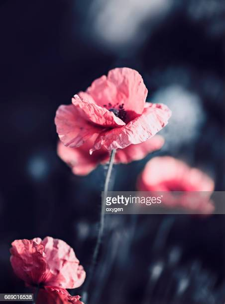 poppy flowers on the dark background