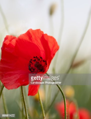 poppy for red : Stock Photo