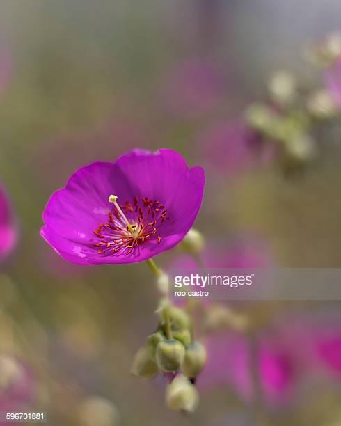 Poppy fuchsia