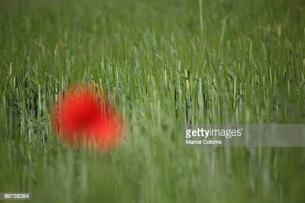 poppy in a barley field