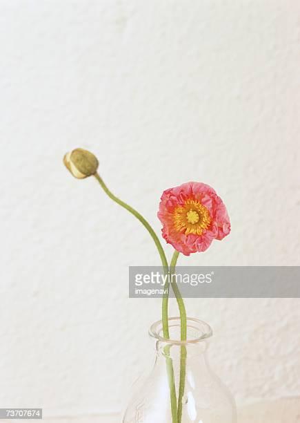 Poppy in a glass vase