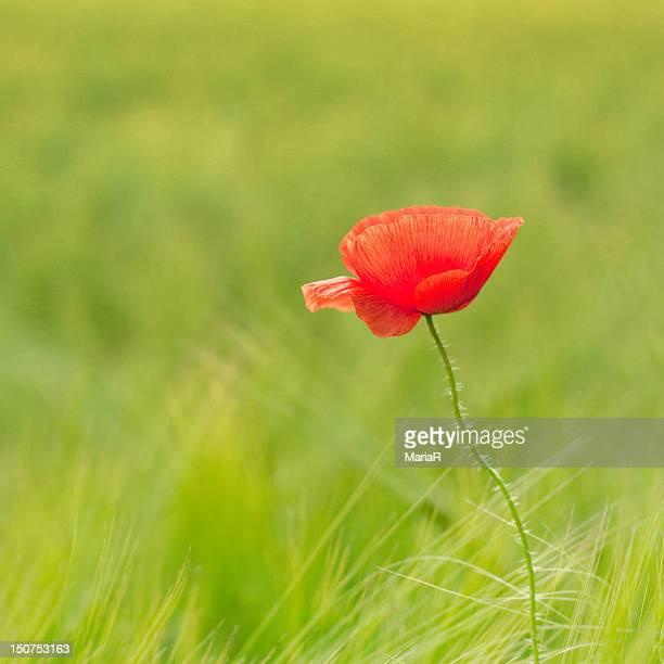 Poppy in green field