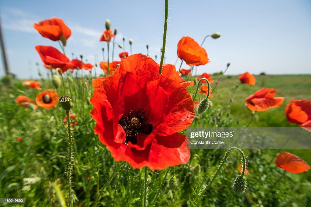 Poppy en el sol : Foto de stock