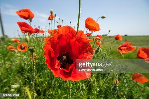 Poppy in the sun : Stock Photo