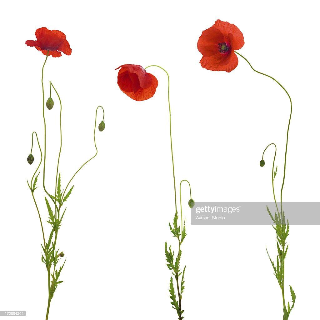 poppy isolated
