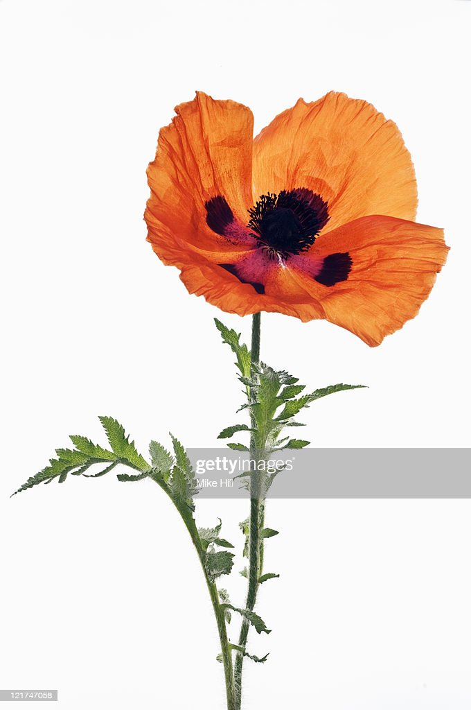 Poppy (Papaver orientale) 'Mandarin', June