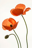 Poppy, Poppies -Papaver-