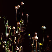 Poppy seed heads and stems