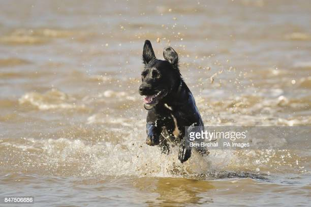 Poppy the labrador Collie cross enjoys the mild and muddy seawater on the beach at WestonsuperMare Somerset where warm weather is still holding out...