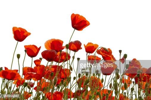 Poppys isolado a branco
