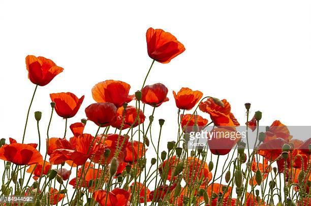 Poppys isolato su bianco