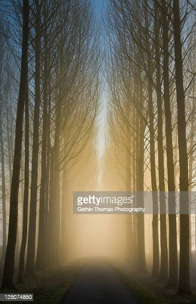 Popular trees at dawn