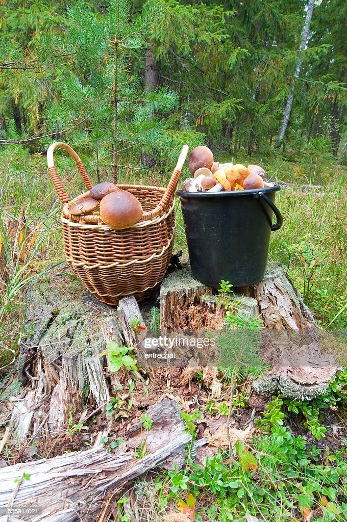 Porcini em uma floresta piny. : Foto de stock
