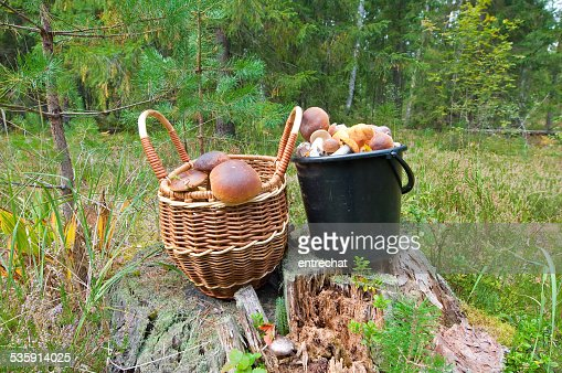 Porcini in a piny wood. : Stock Photo