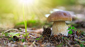 Porcini on moss in forest and sunlight. Healthy and delicates food.