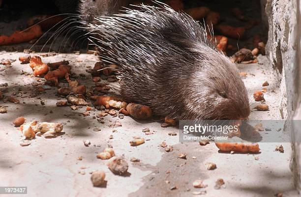 A porcupine eats rotten carrots at the Kabul Zoo May 5 2003 in Kabul Afghanistan Lack of funding and maintenance have animals living in squalor many...