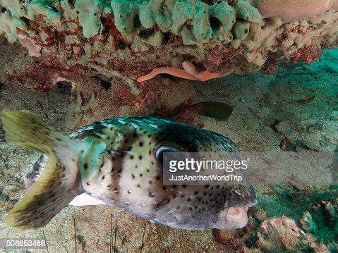 porcupine fish hiding under a coral : Stock Photo