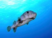 Porcupine fish in swimming in the Caribbean Sea.