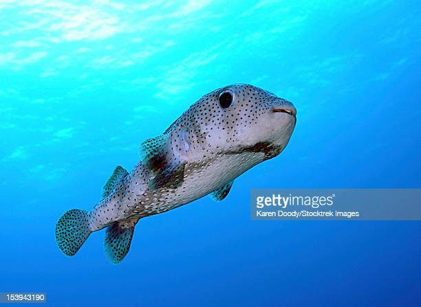 Porcupine fish in swimming in the Caribbean Sea.