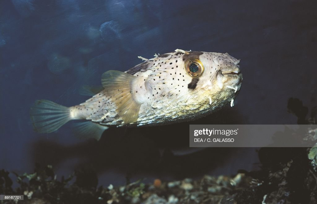 Porcupine fish side view