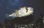 Porcupine fish side view