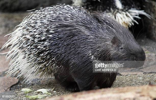 A porcupine named 'Leon' sits in its enclosure at the Tierpark in the eastern German city of Chemnitz on June 13 2008 The Tierpark has been using...